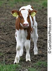 молодой, теленок