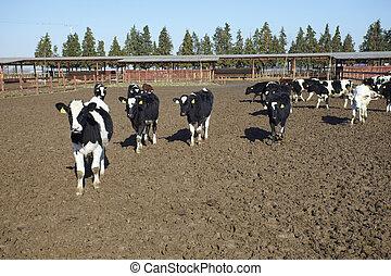 молоко, корова, ферма, бычий, сельское хозяйство