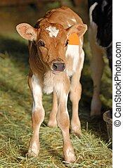 молочные продукты, джерси, теленок