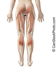 мускулатура, женский пол, нога
