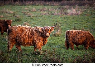 нагорье, крупный рогатый скот, на открытом воздухе