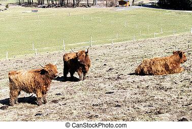 нагорье, крупный рогатый скот, шотландский, выгон