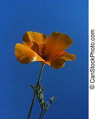 небо, против, мак, оранжевый, калифорния, задний план, цветок, синий