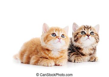 немного, кот, shorthair, британская, kittens