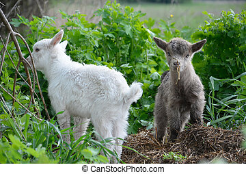 немного, goats, graze.