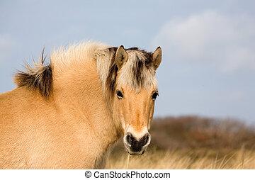 норвежский, лошадь, фьорд