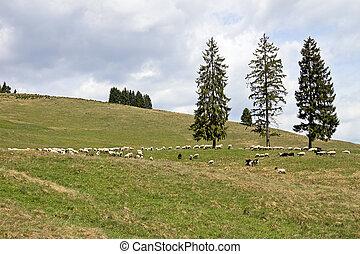 овца, выгон