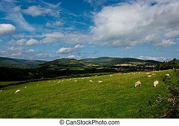 овца, выгон, ирландия