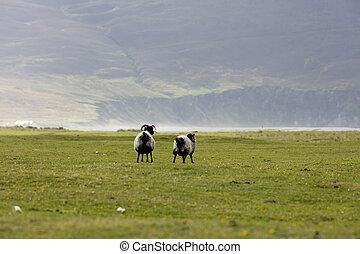 овца, ирландия