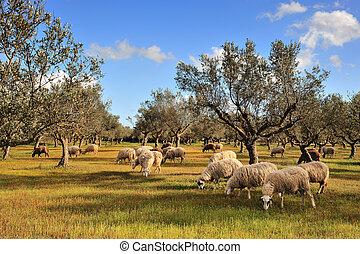 овца, оливковый, дерево, поле