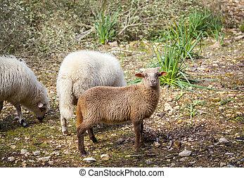 овца, остров, mallorca, grazing