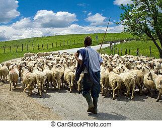овца, пасти, his, пасти