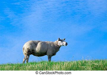 овца, свежий, трава, зеленый