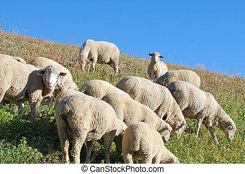 овца, склон холма, grazing