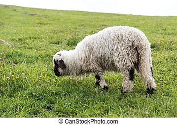 овца, black-nosed, walliser, -, выгон