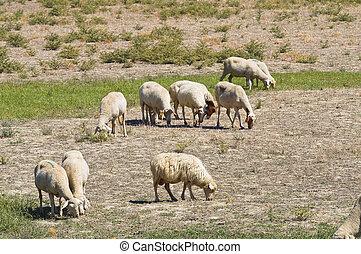 овца, grazing.