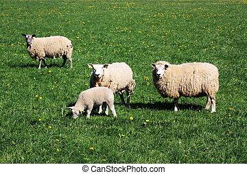 овца, grazing