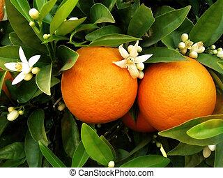 оранжевый, дерево, два, oranges