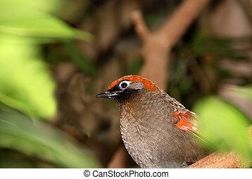 оранжевый, птица, headed