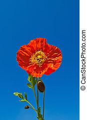 оранжевый, синий, небо, против, poppies
