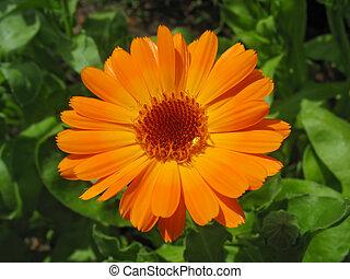 оранжевый, calendula, яркий, цветок