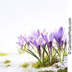 оттепель, цветы, изобразительное искусство, снег, крокус