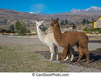 перуанский, alpacas