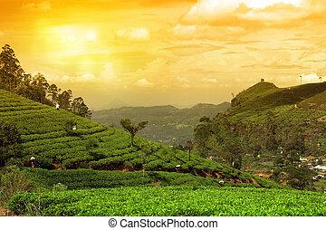 плантация, чай, закат солнца, пейзаж