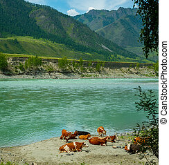 пляж, river., cows, отдыха