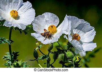 полевой цветок, техас, крупным планом, колючий, пчела, белый, мак, цвести