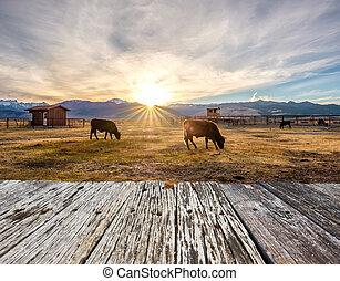 поле, корова, закат солнца