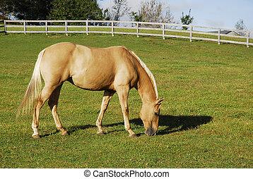 поле, паломино, лето, лошадь
