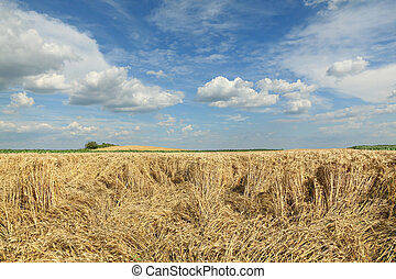 поле, поврежденный, пшеница, сельское хозяйство, уборка урожая