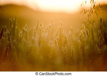 поле, пшеница, закат солнца