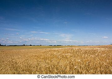 поле, пшеница, пейзаж