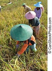 поле, рис, работник