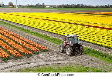 поле, трактор, тюльпан