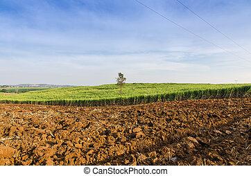 поле, ферма, тропический, сахарный тростник, сельское хозяйство, пейзаж