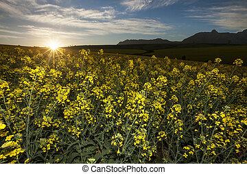 поле, цветок, закат солнца