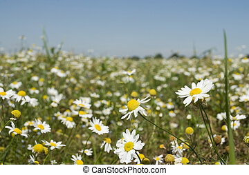 поле, daisies