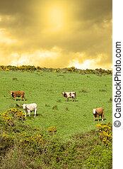 поле, grazing, холм, крупный рогатый скот