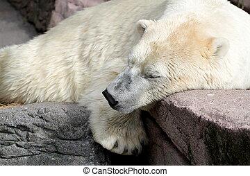 полярный, медведь, спать