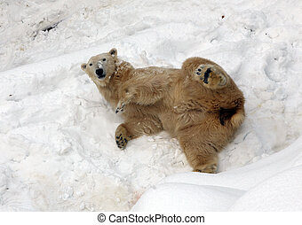 полярный, снег, медведь, зоопарк