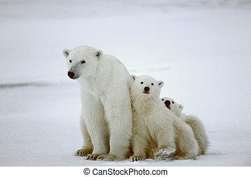 полярный, she-bear, cubs.