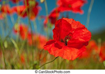 поля, зерно, красный, poppies