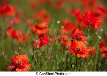 поля, красный, poppies