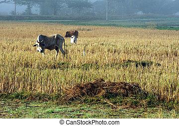 поля, рис, morning., крупный рогатый скот