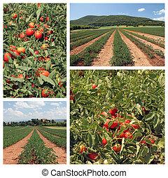 помидор, выращивание, коллаж