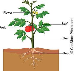 помидор, растение, parts, показ
