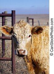 портрет, крупный рогатый скот